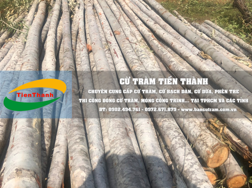 Chất lượng cừ bạch đàn luôn đảm bảo: cây đủ tuổi, thẳng chắc, cột chống gỗ bạch đàn