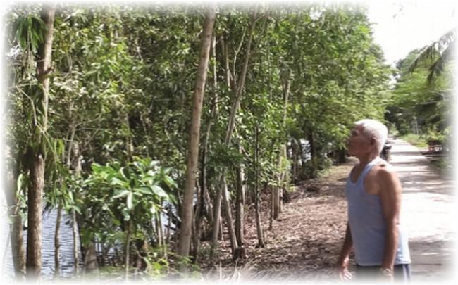 Trồng cây tràm chống sạt lở bờ sông ở Cà Mau