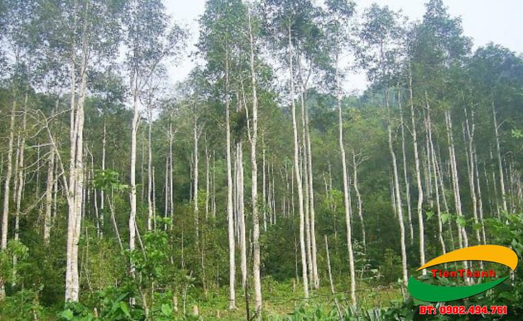 Rừng bạch đàn: Tìm hiểu các tác dụng của cây Bạch Đàn trong đời sống không phải ai cũng biết