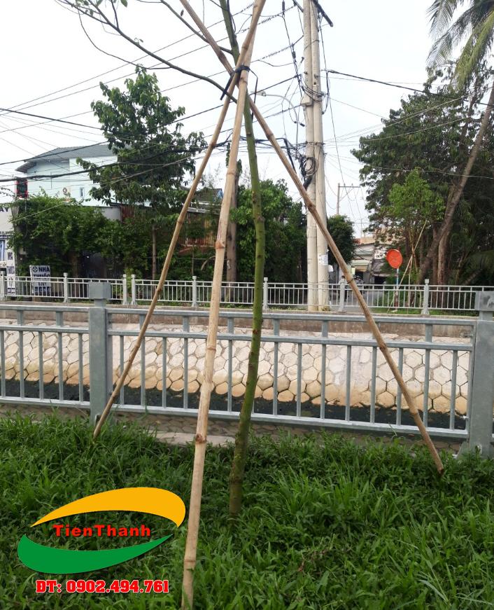 Cây tầm vông sử dụng làm cây chống cho cây xanh, nhà vườn