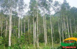 Tìm hiểu các tác dụng của cây Bạch Đàn trong đời sống không phải ai cũng biết