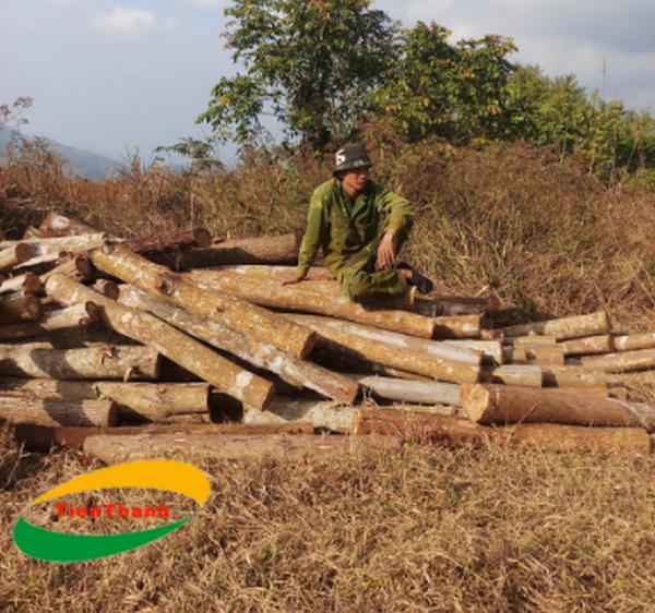 Cây chống bạch đàn TPHCM, Cột chống gỗ bạch đàn Giá rẻ