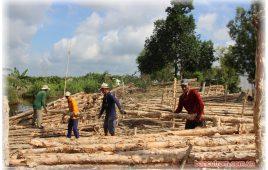 Những hình ảnh thú vị chợ Cừ tràm ở Cà Mau | Vựa cừ tràm Tiến Thành